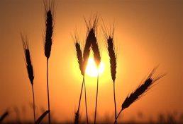 هفتاد درصد مهندسان کشاورزی بیکار هستند