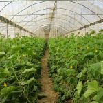 صدور مجوز برای صد و نود و شش هکتار کشت گلخانه ای در قم
