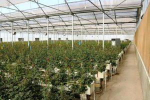 افزایش دو برابری تعداد گلخانه های تبریز