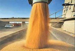 افزایش برداشت گندم و جو در سال آتی