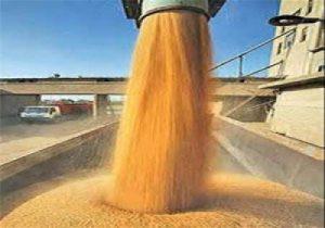 خرید گندم با نظارت فارغ التحصیلان کشاورزی