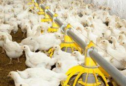 کنترل ویروس آنفلوانزا در مرغداریهای قم
