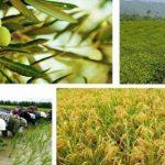 علاقه نود و هشت درصد کشاورزان استان خراسان رضوی به کشت سنتی