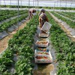 نیمی از گلخانهداران یزد اتباع بیگانه هستند
