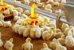 ساماندهی جوجه ریزی در واحدهای مرغداری استان کردستان