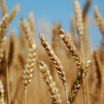 طالب مرغوبترین گندم توسط استان خوزستان
