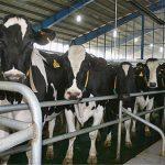 مجوز راهاندازی گاوداری شیری 3 هزار راسی شرکت سرمایهگذاری تامین اجتماعی