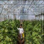 گلایه بهرهبرداران گلستانی از وضعیت پروانه اشتغال در فعالیت های کشاورزی