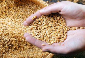شروع اجرای پروژه افزایش بهرهوری مزارع گندم استان کرمانشاه با کمک روش های علمی