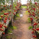 بیست و نه مورد پروانه تاسیس گلخانه برای امسال با ظرفیت صد و چهل و سه هکتار