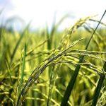 حمایت از گندم کاران قراردادی اصفهان به عنوان استان پیشرو در کشور